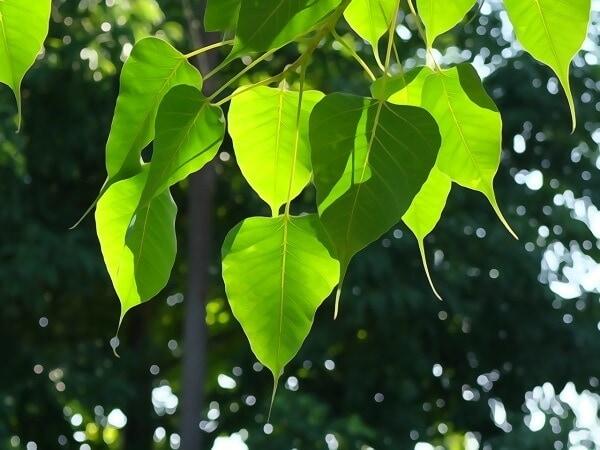 bodhi tree as Buddhist Symbol