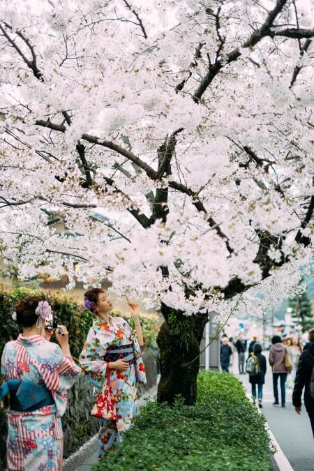 Japan pink cherry blossoms