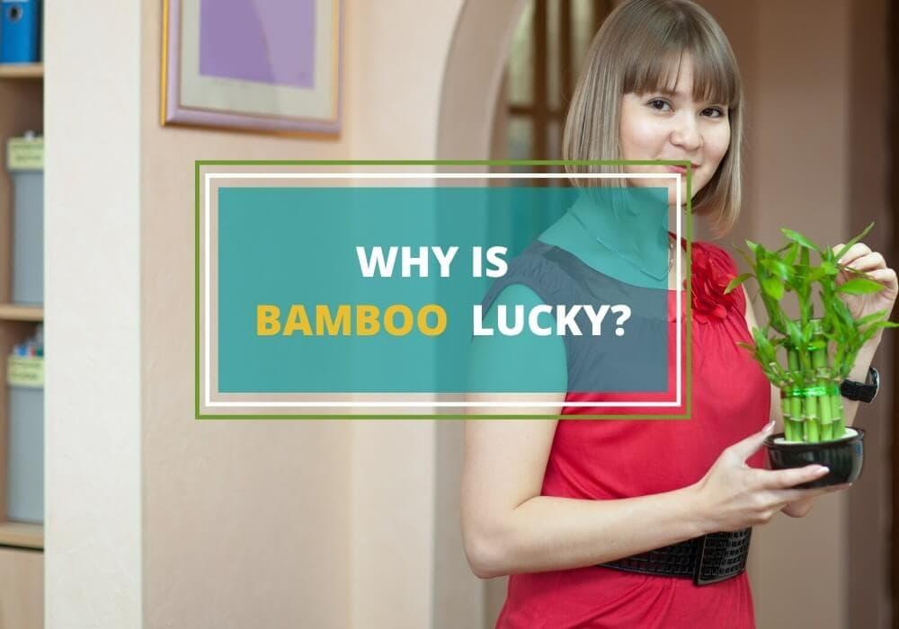 lucky bamboo symbol