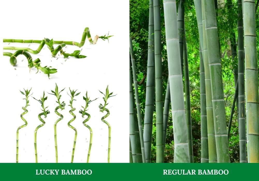 lucky bamboo vs bamboo