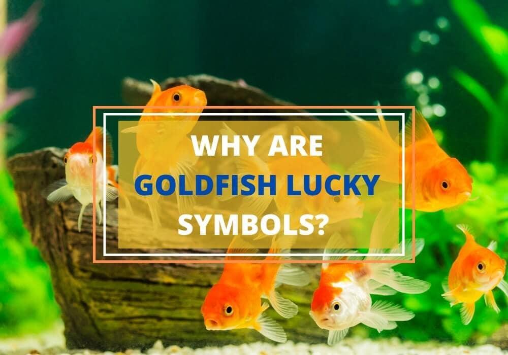 Lucky goldfish symbolism