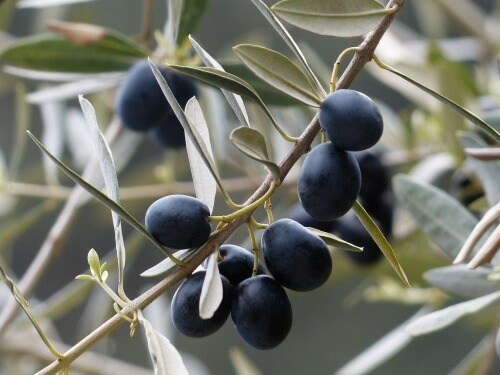 Olive branch as peace symbol