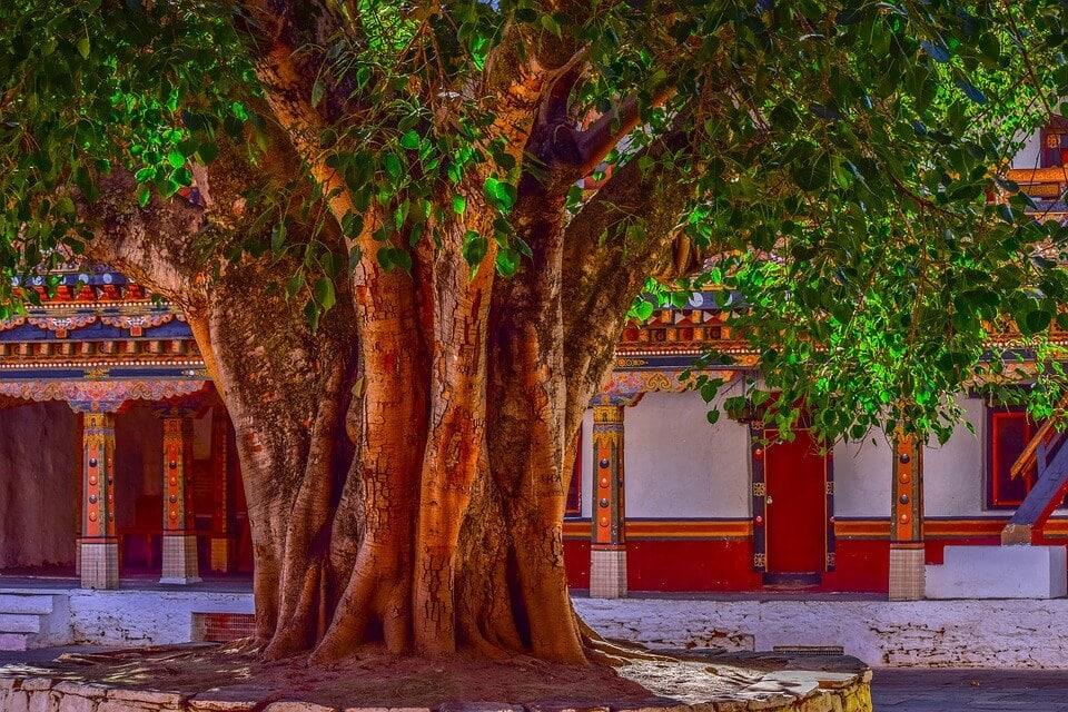 Vata vriksha banyan tree