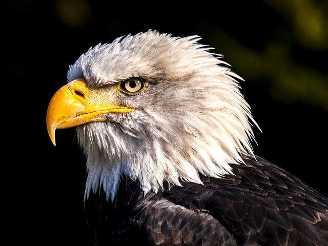 Bald eagle USA