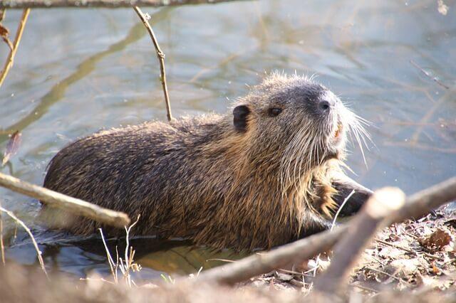 Beaver in Canada