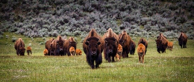 Bison in North America