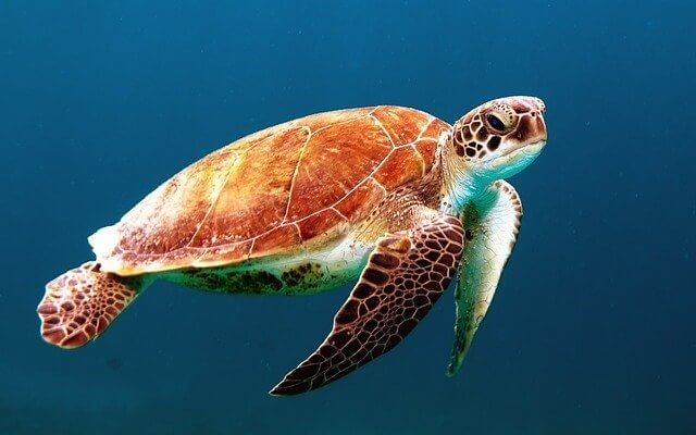 Canadian turtle