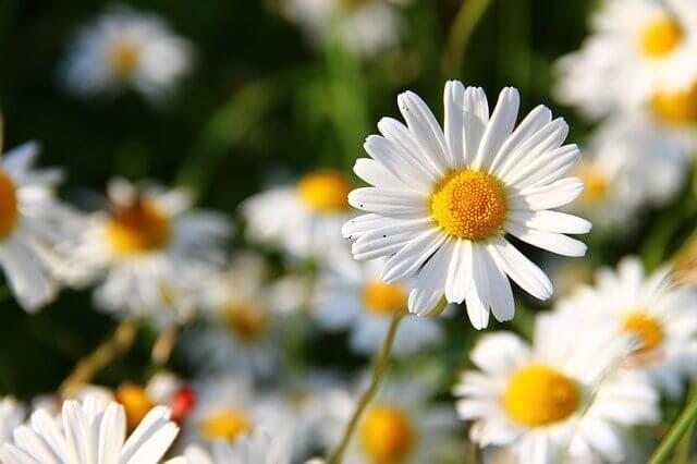 Daisy flower Latvia