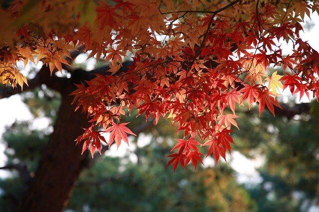 Maple leaf and tree