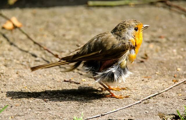 moulting bird