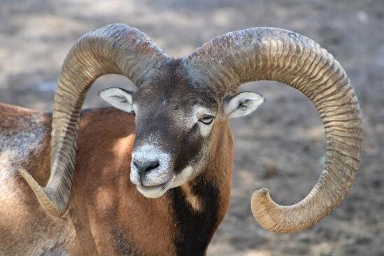 Ram symbol of power