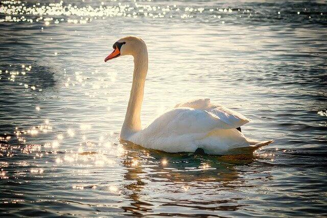 Swan symbol of love
