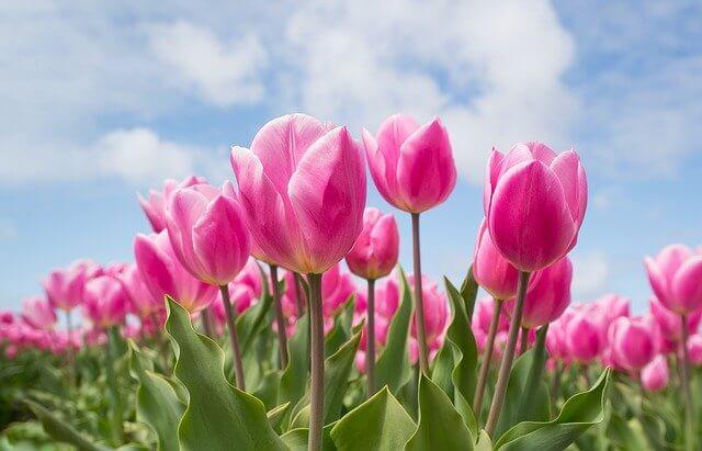 Tulip turkey symbol