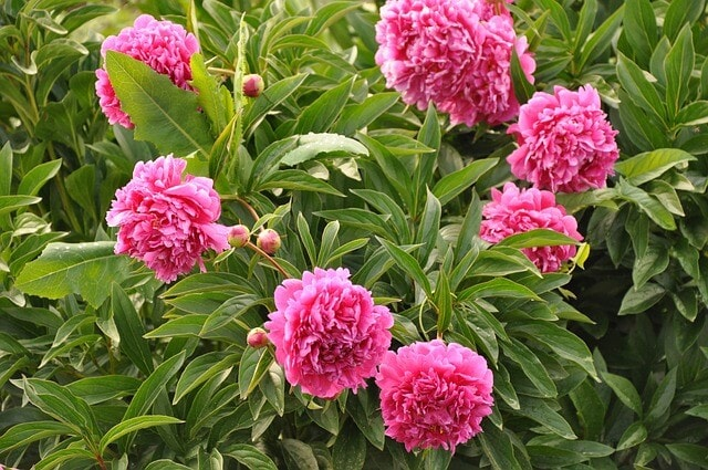 What are peonies