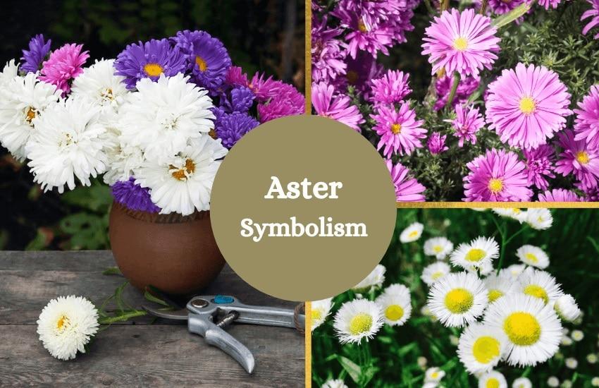 Aster flower symbolism