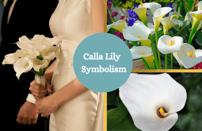 Calla lily symbolism