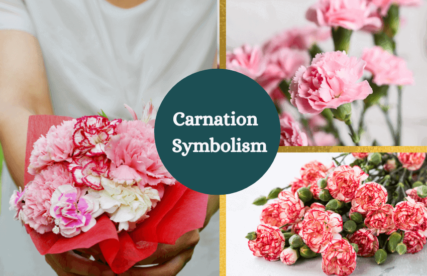 Carnation meaning and symbolism