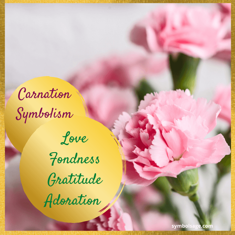 Carnation flower meaning
