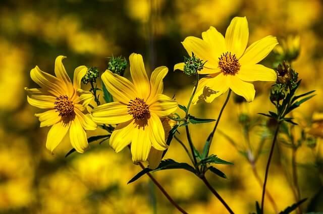 Coreopsis flower Florida symbol