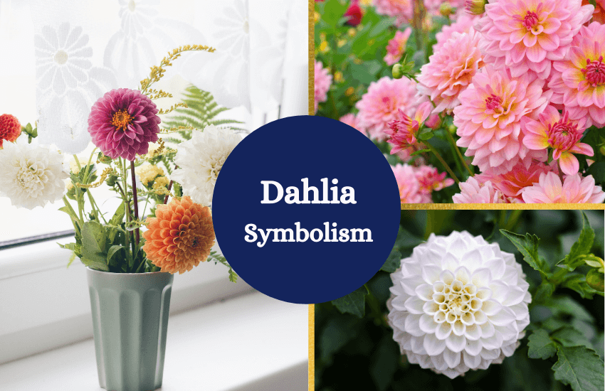Dahlia symbolism and meaning