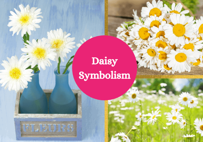 Daisy flower symbolism