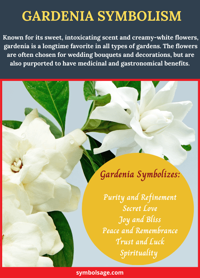 Gardenia flower meaning and symbolism