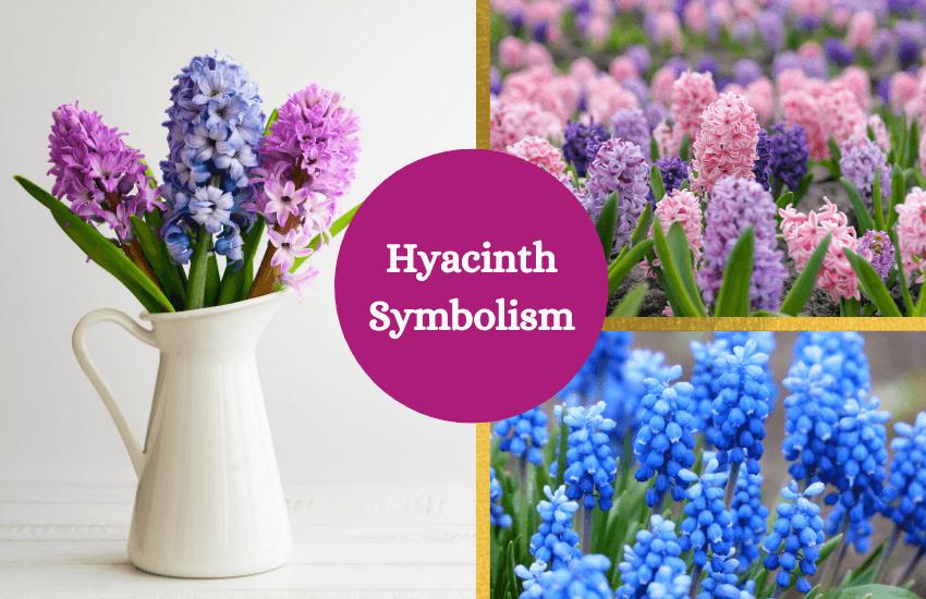 Hyacinth meaning symbolism