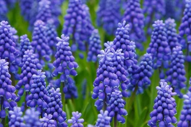 Hyacinth modern use