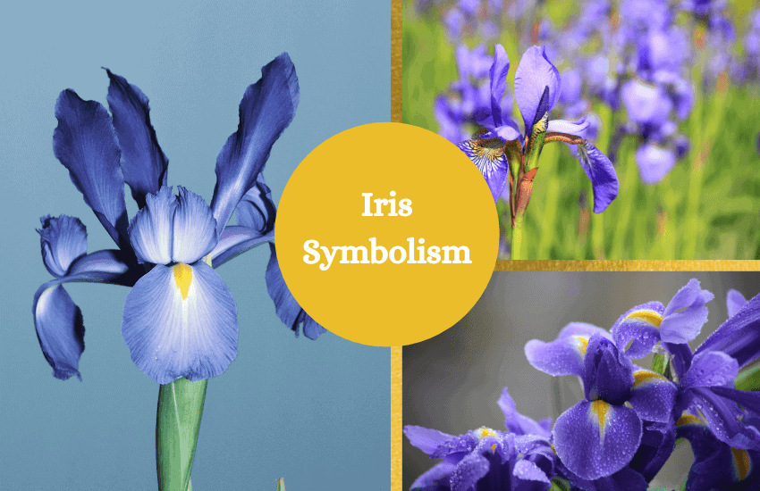 Iris symbolism and meaning