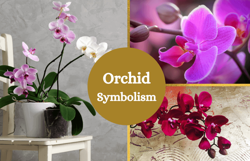 Orchid symbolism and meaning