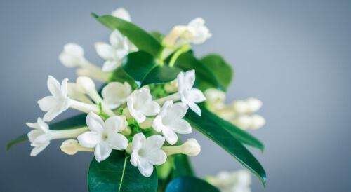 White stephanotis flower