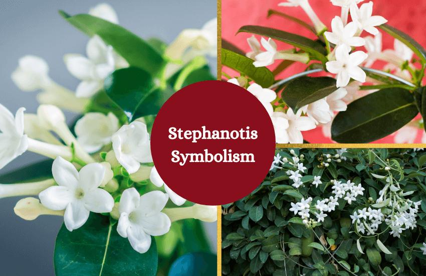 Stephanotis flower symbolism and meaning