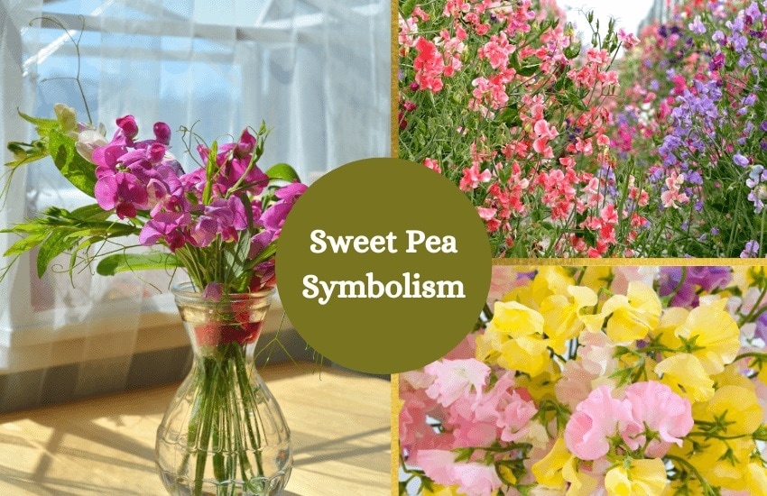 Sweet pea symbolism