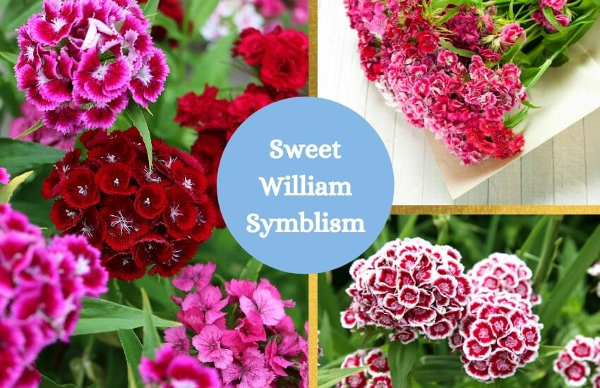 Sweet william flower symbolism