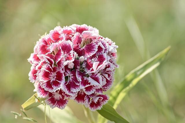 Red sweet william flower