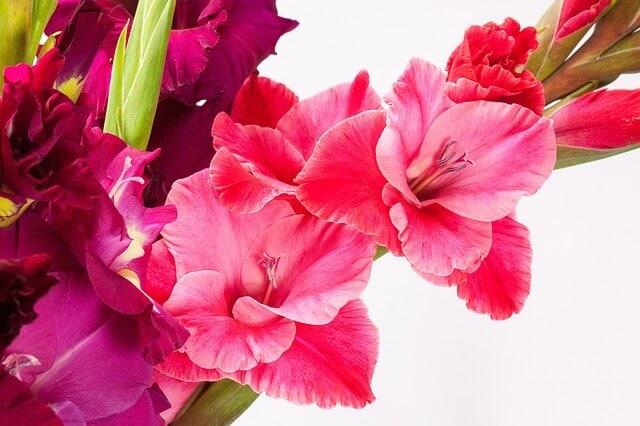 Pink gladiolus flower