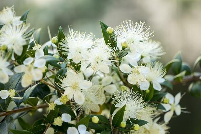 White myrtle flower closeup