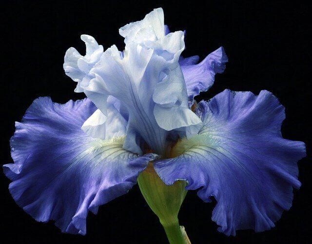 Iris flower closeup
