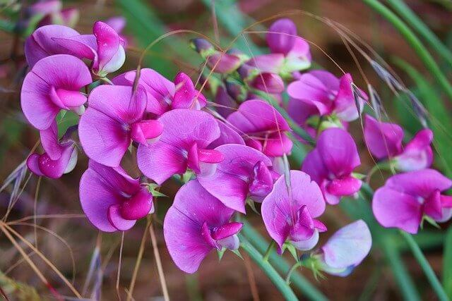 What is the sweet pea