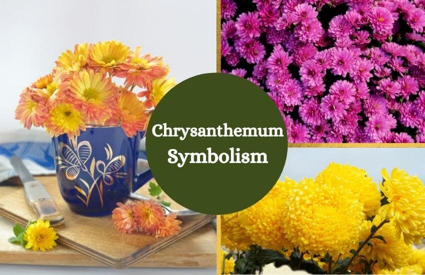 Chrysanthemum flower symbolism