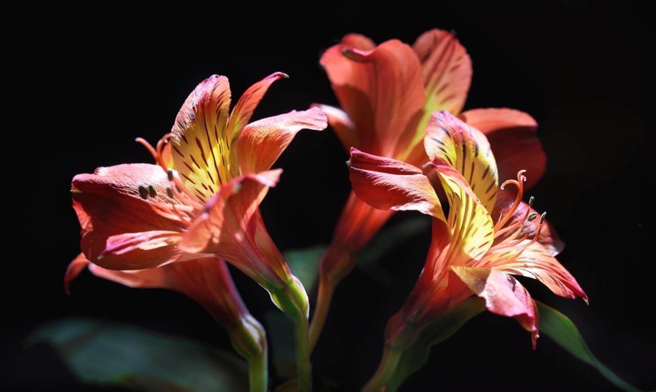 Alstroemeria flower symbolizes love