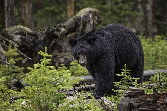 Black bear state symbol