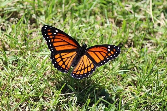 Butterfly viceroy