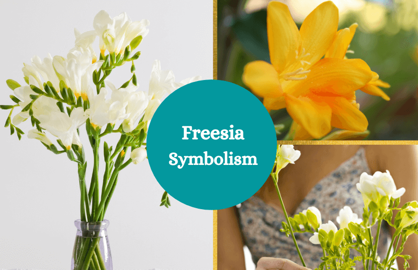 Freesia symbolism and meaning