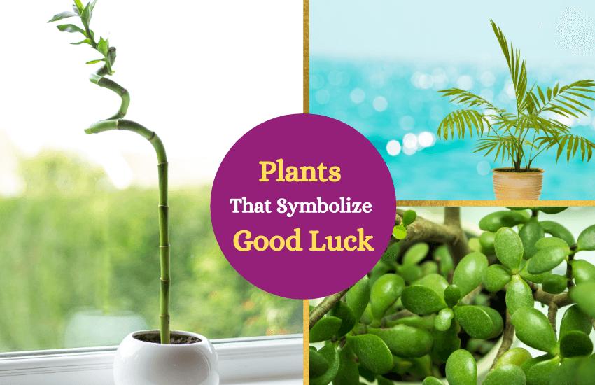 Good luck plants