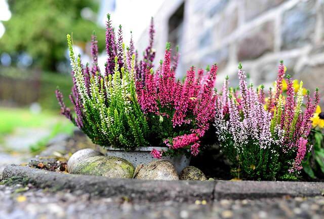 heather flower