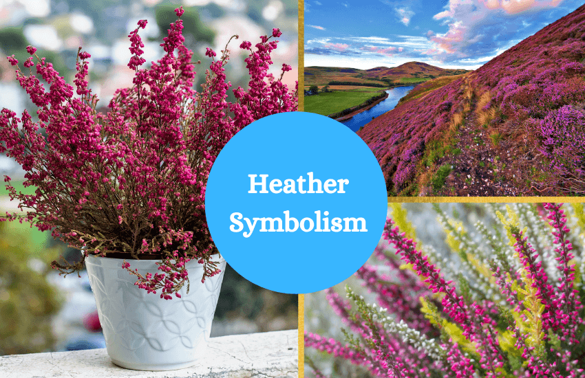 Heather symbolism meaning