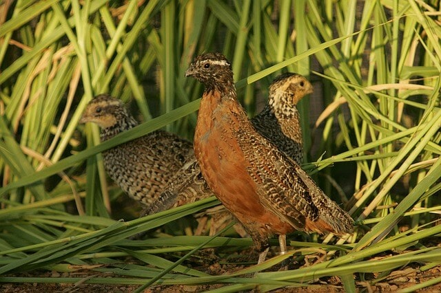 Masked bobwhite quail