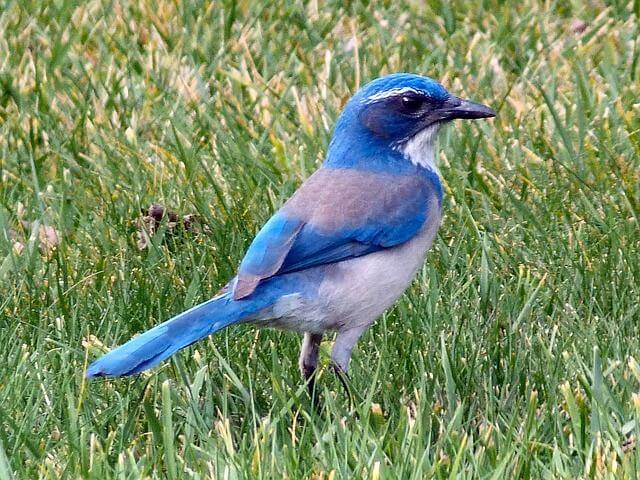 Mountain bluebird Idaho