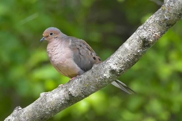 Mourning dove Wisconsin state